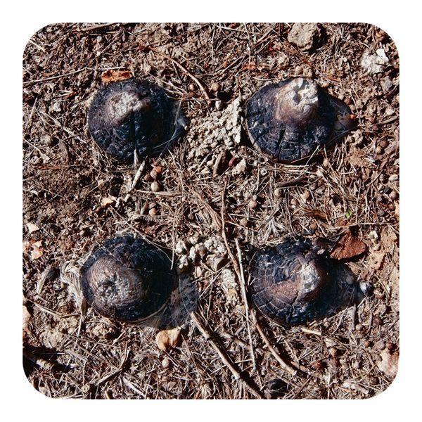 cuatro tocones quemados